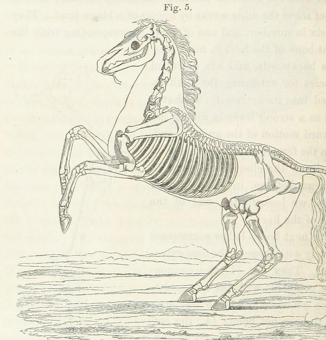 Illustration of a horse skeleton