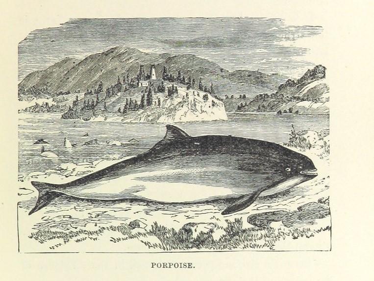 Illustration of a porpoise